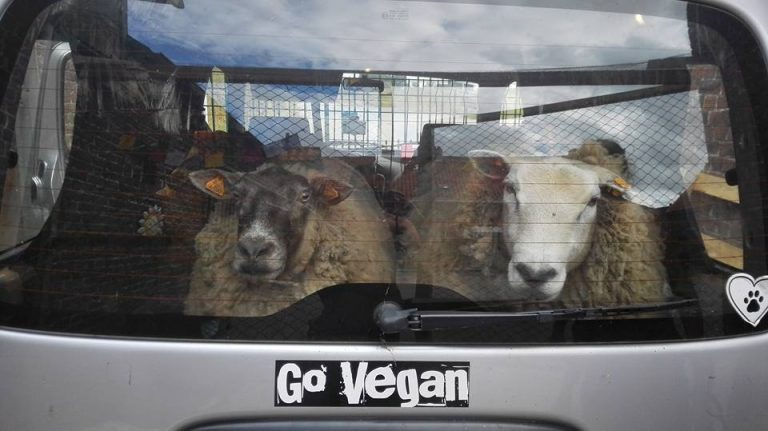 Our car, loaded up with two rescued sheep being transported to their new home.