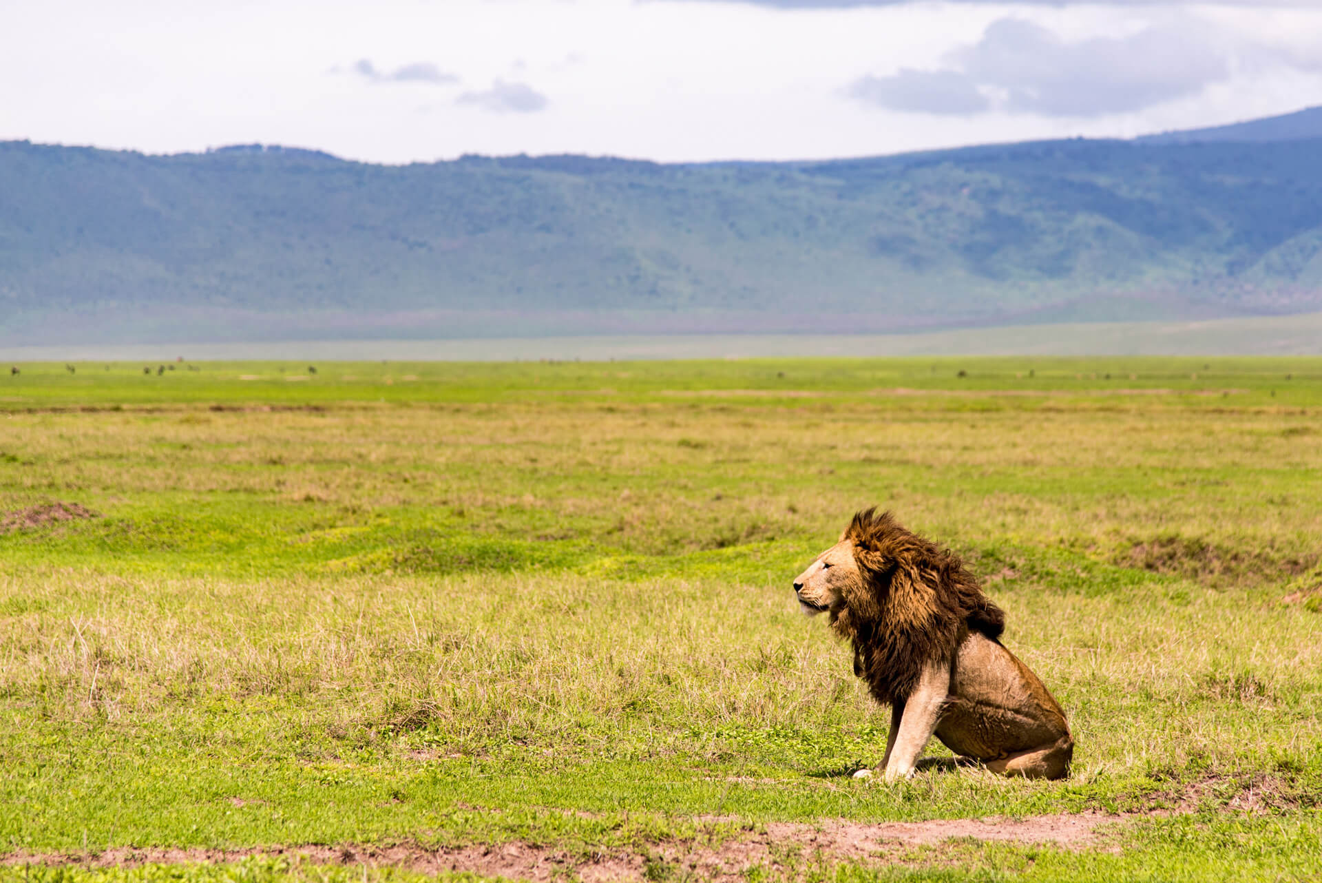 A Masai lion in the Ngurunguru Crater (photo: planetreserve.com)
